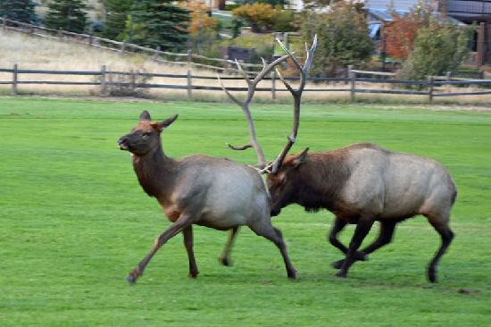 Discovery Lodge: Rutting season on the golf course