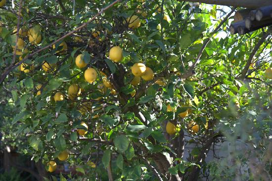 Sophia's Bed and Breakfast: Lemon tree