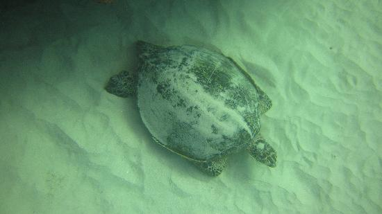 Oahu Diving: Sea turtle we saw during one of the dives