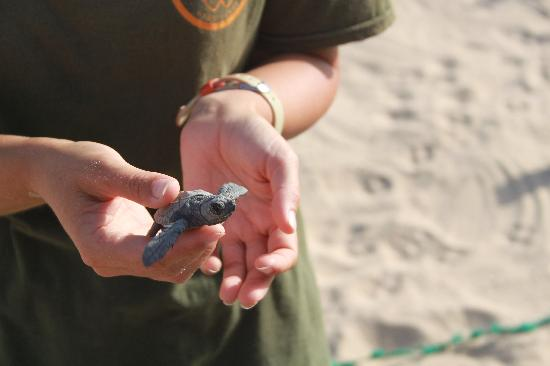 Santa Maria, Tanjung Verde: Hatchling