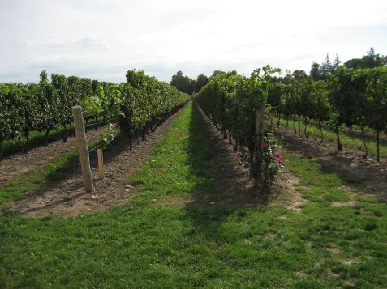 The Winery Restaurant at Peller Estates: Cabernet vineyard at Peller