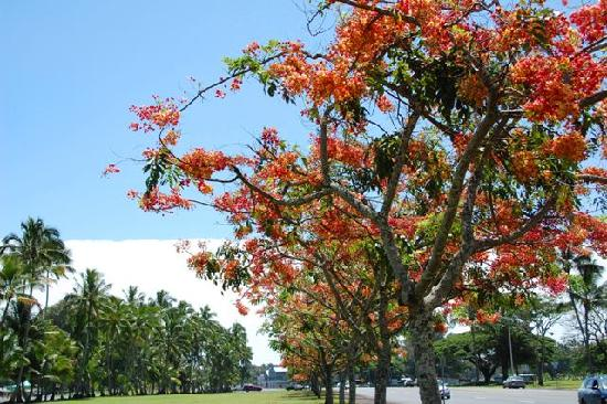 Flaming shower trees near Pakalana Inn