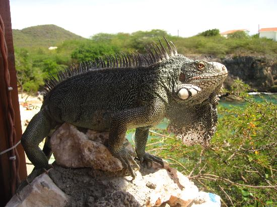 Marazul Dive Resort: iguana curacao