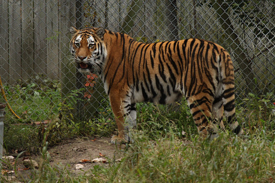 Rochester, NY: amur tiger