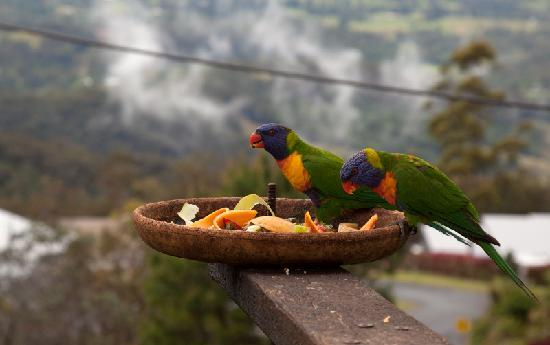 Tamborine Mountain Bed & Breakfast: Rainbow Lorikeets join us for breakfast