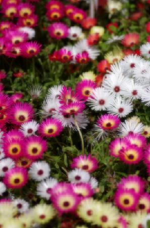 Ashikaga Flower Park: デイジー