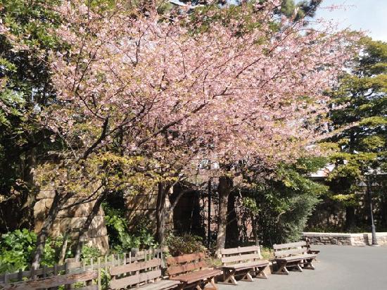 Tokyo DisneySea : Cherry blossoms in the Disney Park :)