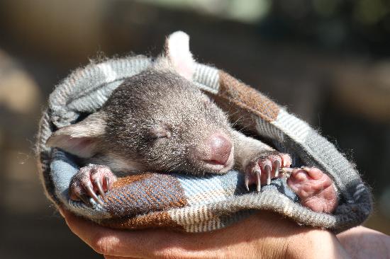 Brighton, Australia: Mavis - one of our orphaned wombats