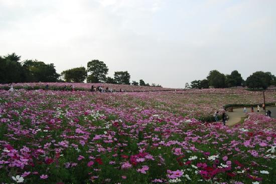Tachikawa, Japan: 丘なので一面のコスモスを撮影し易い胃です