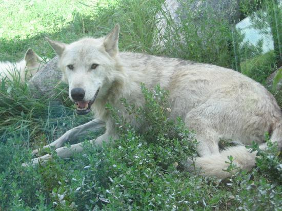 Fargo, Dakota del Nord: One of the beautiful wolves laying really close to the viewing window.