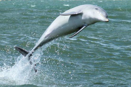 Dolphin Discovery Centre: Surfing Dolphin in Koombana Bay, Bunbury