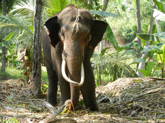 Kegalle, Sri Lanka: Elephant in the forest