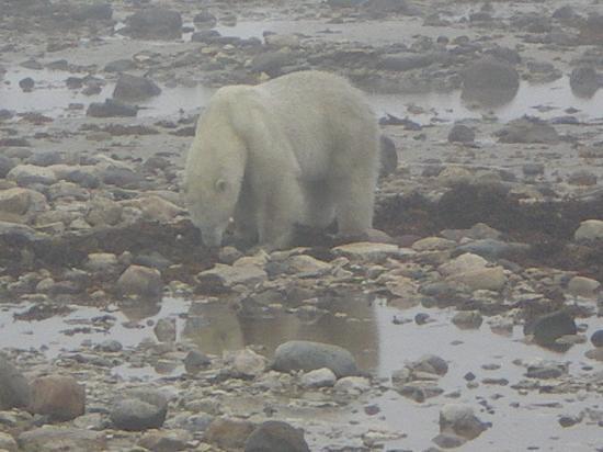 Tundra Inn : polar bear on the tundra