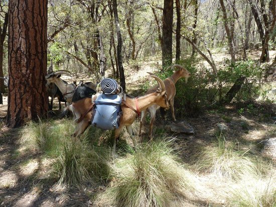 Purple mountain pack goats private day tours tucson for Mt lemmon cabin rentals pet friendly