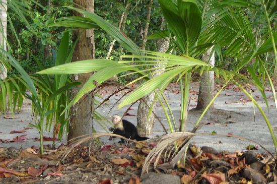 Playa Manuel Antonio: Mono cara blanca en la playa