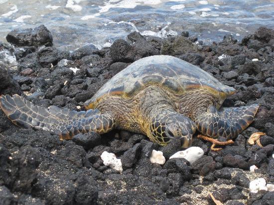 Anaehoomalu: Sea turtle - keep distance (this is telephoto)