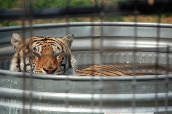 Turpentine Creek Wildlife Refuge: pretty kitty