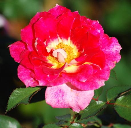 Tyler Rose Garden: One of many roses