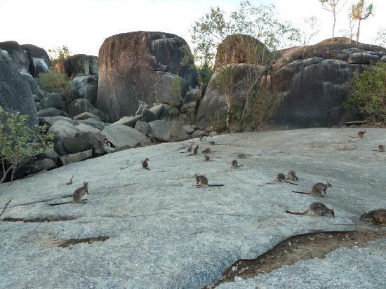 Northern Explorer Tours: Abendliche Fütterung der Felsen-Wallabies