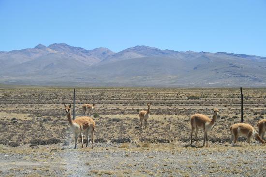 Salinas y Aguada Blanca National Reserve: Vicunas