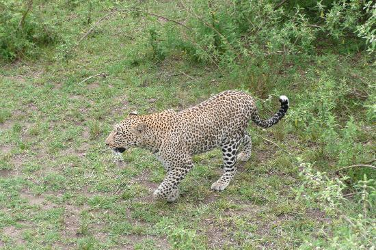 Kicheche Valley Camp: Leopard