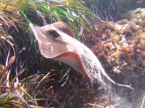 Bluewater Scuba : Common Sting Ray