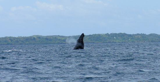 Masoandro Lodge: humpback breach....is the ultimate for whale watching.