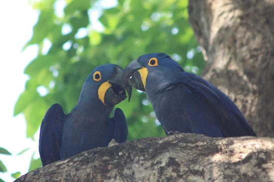 Araras Pantanal Ecolodge: ARARAS CASADAS