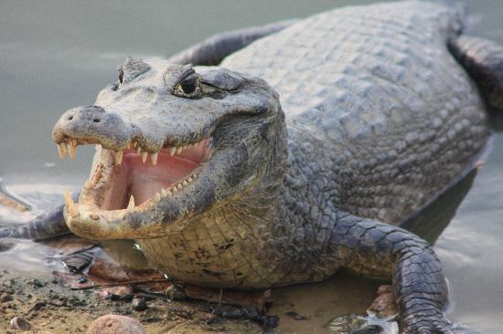 Araras Pantanal Ecolodge: jacaré