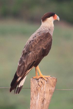 Araras Pantanal Ecolodge: falco