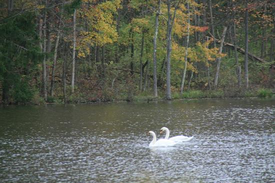 WhistleWood Farm Bed and Breakfast: swans on the lake