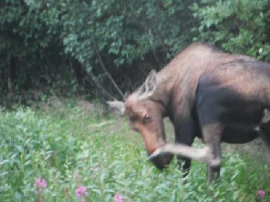 Denali Princess Wilderness Lodge: Moose