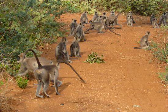 Hambantota, ศรีลังกา: Langur troop