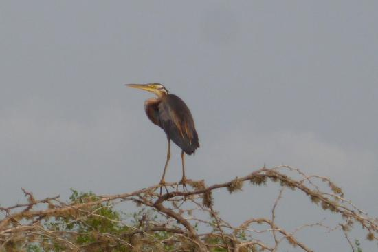 Hambantota, ศรีลังกา: Purple heron