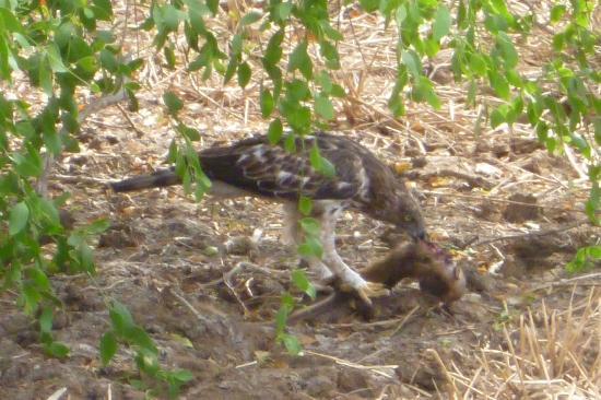 Hambantota, ศรีลังกา: Raptor with baby macaque