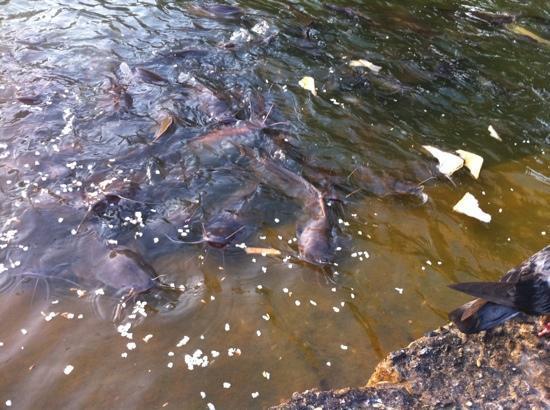 Comida para peces fotograf a de udon saeng tawan udon for Comida para peces