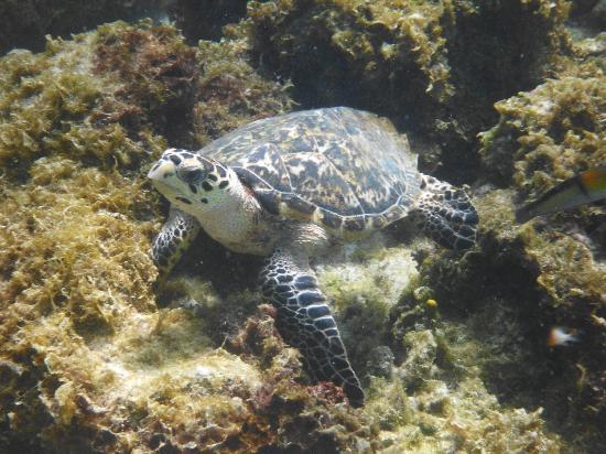 Carriacou Island, Grenada: Turtle we saw while snorkeling