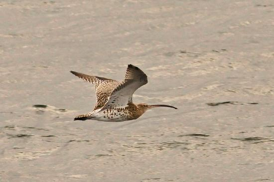 Isle of Mull Hotel & Spa: Curlew on Mull