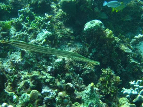 Negril, Jamajka: trumpet fish