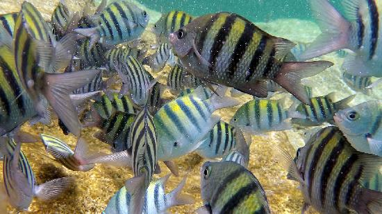Akumal, Mexico: The most common fish seen at Yal-Ku