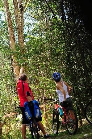 Bunyip Bike Tours: See Koalas