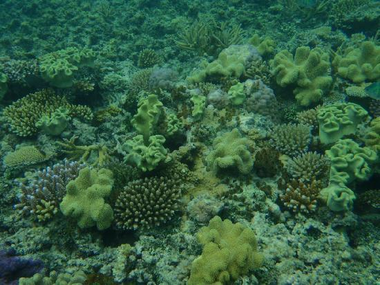 Nanuya Island Resort: New growth of corals