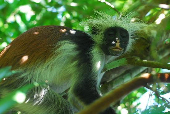 Eco & Culture Tours : Zanzibar Red Colobus monkey in Jozani Forest