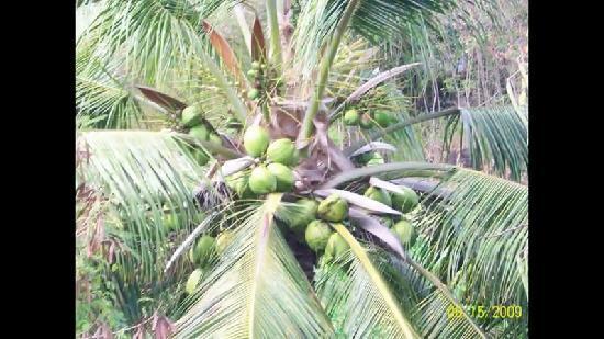 Moya, Komory: cocotier