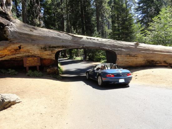 Giant Forest: Tunnel log