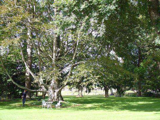 Oak Lane Lodge: Copper Beech Tree