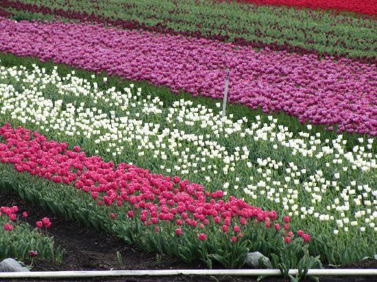 Lodge El Taique: a pocos minutos de alli aprecias un campo lleno de tulipanes