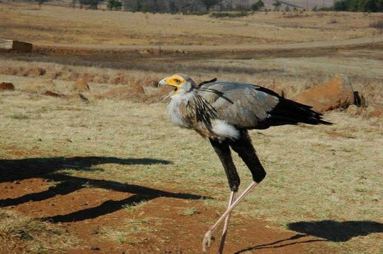 Dullstroom Bird Of Prey & Rehabilitation Centre