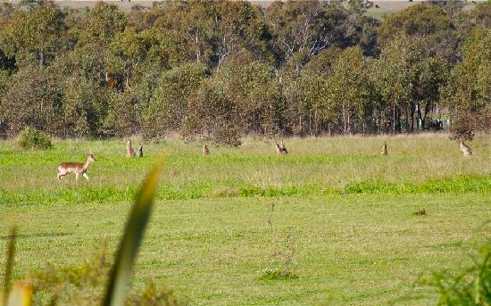 Azjure Studio Retreat: Kangaroos, deer and other wildlife