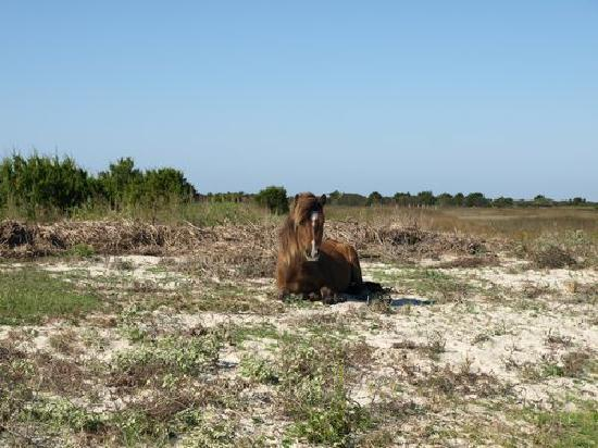 Peppertree Resort: Young horse resting on Shackleford Island